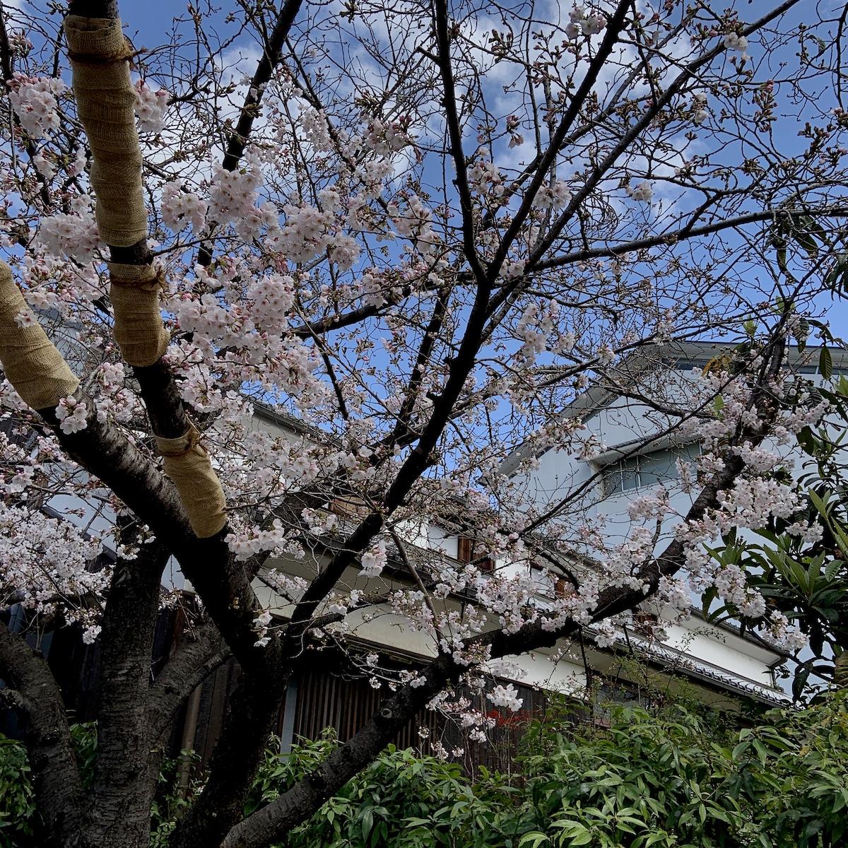 神戸酒心館の桜が咲き始めています